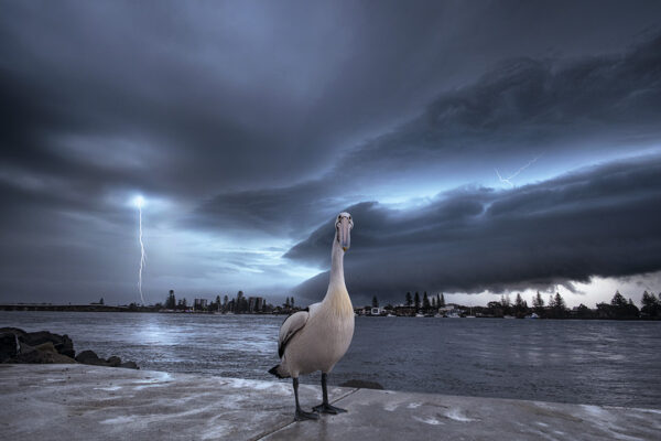 Photo of lightning behind pelican